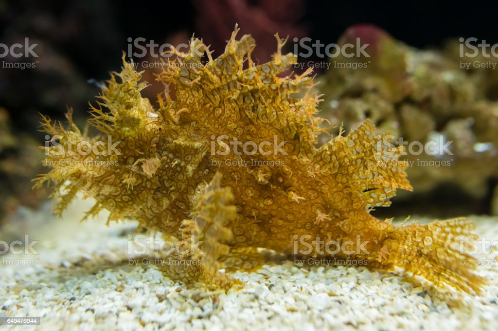 phinopias frondosa, weedy scorpion fish, ray finned stock photo
