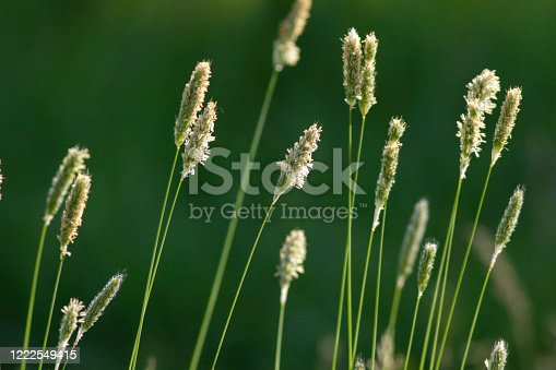 Seed heads of a common grass Phleum pratense, known as Timothy grass / Timothy-grass. Close up with backlighting.