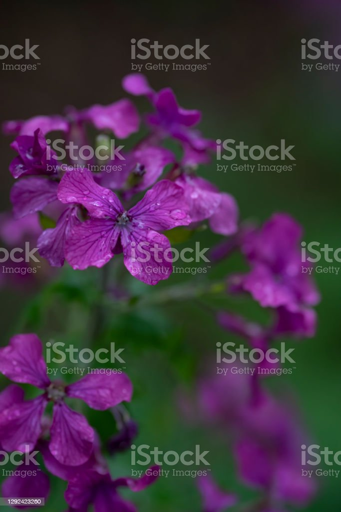 Phlox flower head A purple phlox flower head with raindrops following a spring shower. Backgrounds Stock Photo