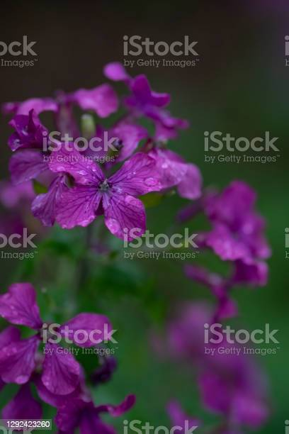 Phlox Flower Head Stock Photo - Download Image Now