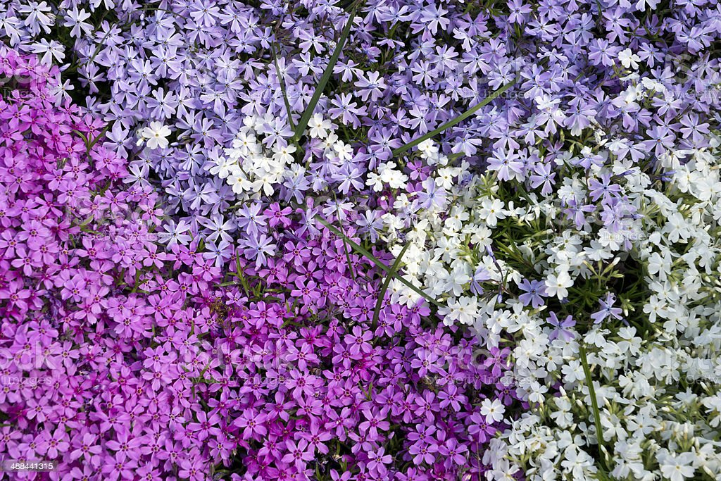 Phlox flower stock photo