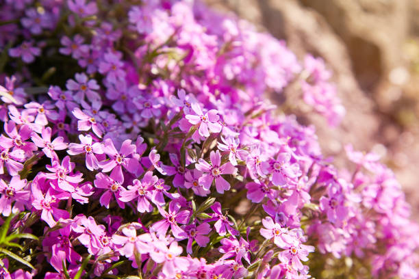 Phlox flowers Phlox subulata flowers stealth stock pictures, royalty-free photos & images