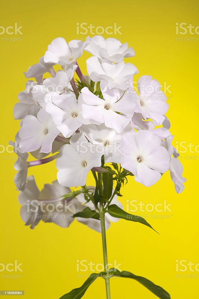 phlox flowers royalty-free stock photo