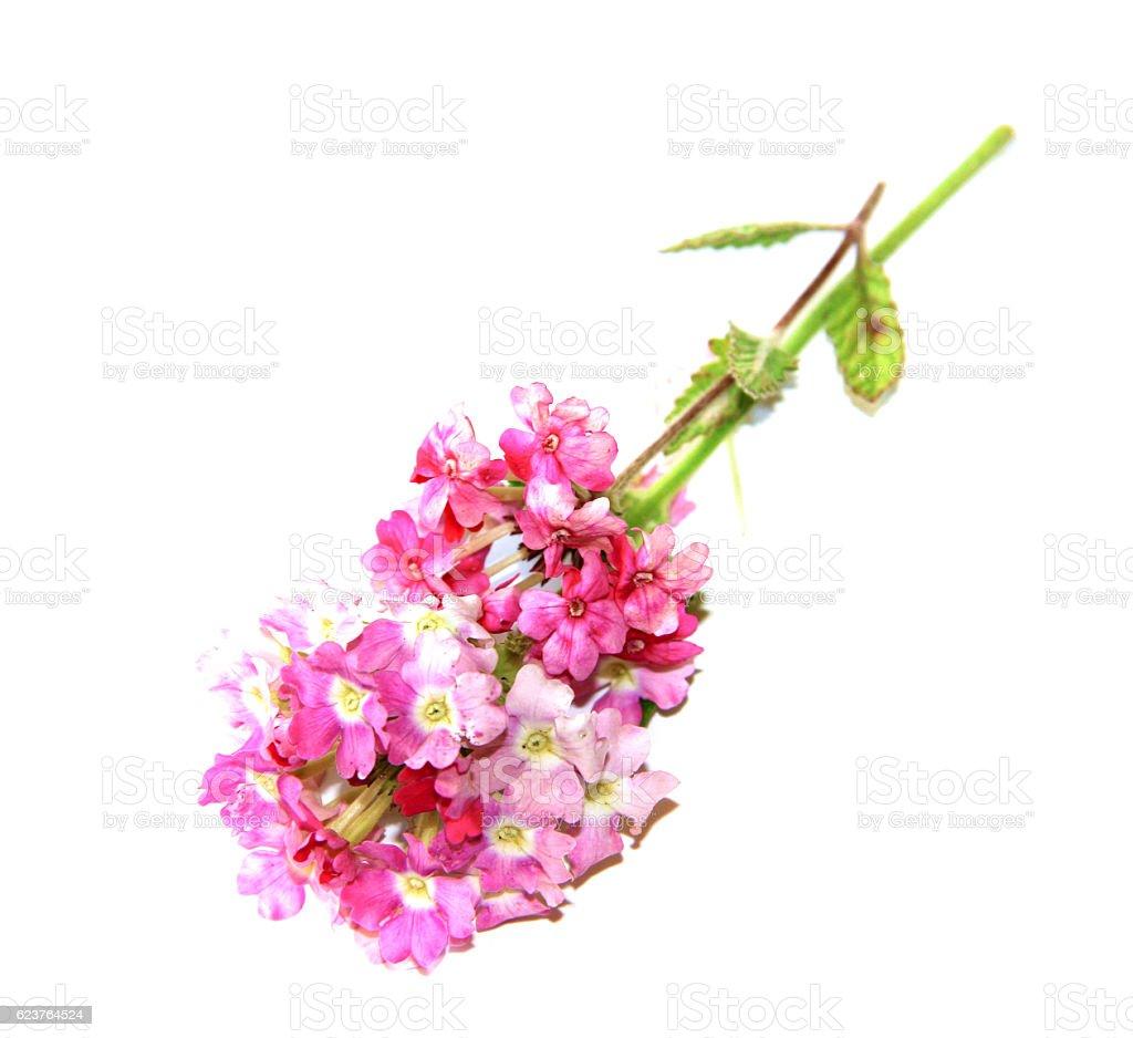 phlox fresh pink flower on white background stock photo