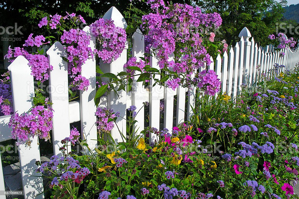 Phlox Growing on a White Fence stock photo