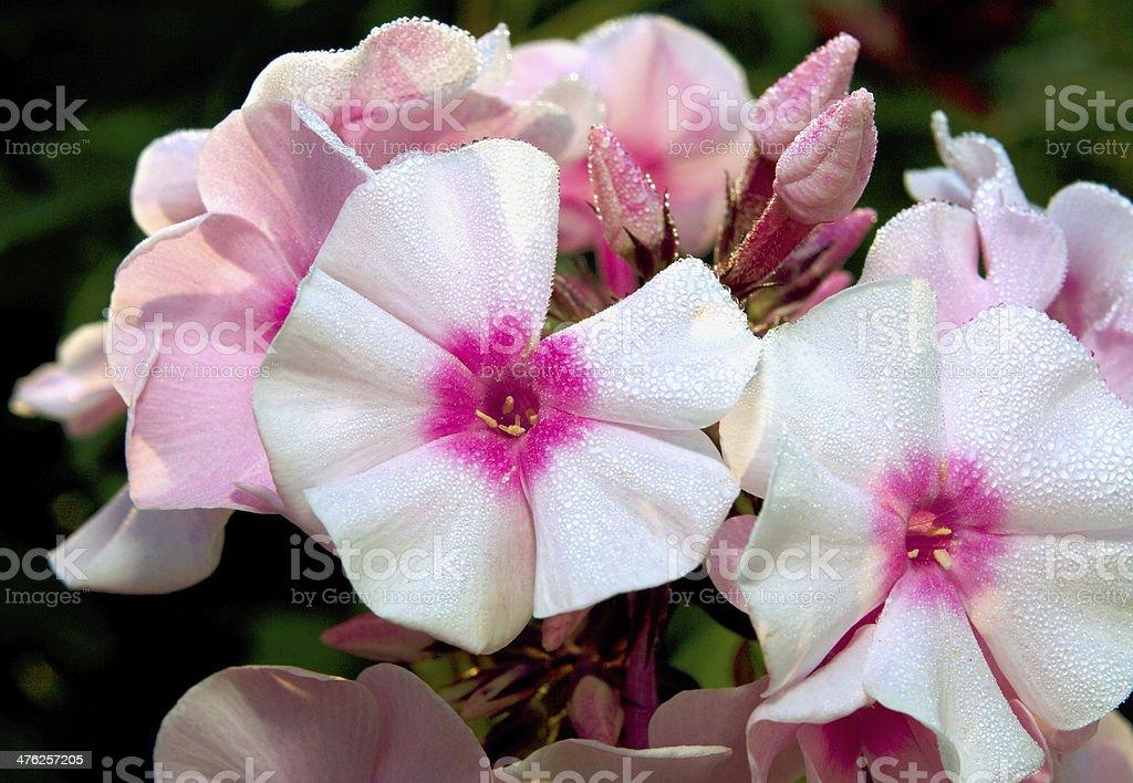 Phlox in garden royalty-free stock photo