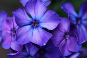 Flowers of Phlox Paniculata have wonderfully fragrant flowers and are therefore perennial garden plants with mostly bright colors, blooming in summer and autumn