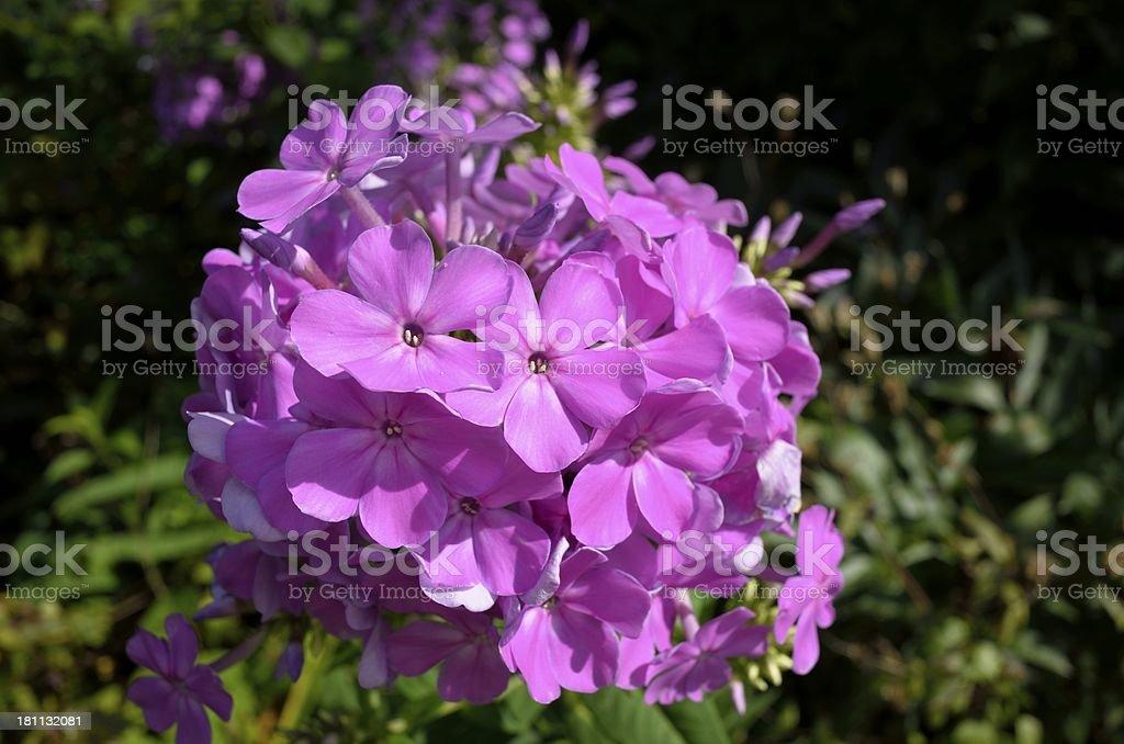 Phlox paniculata royalty-free stock photo