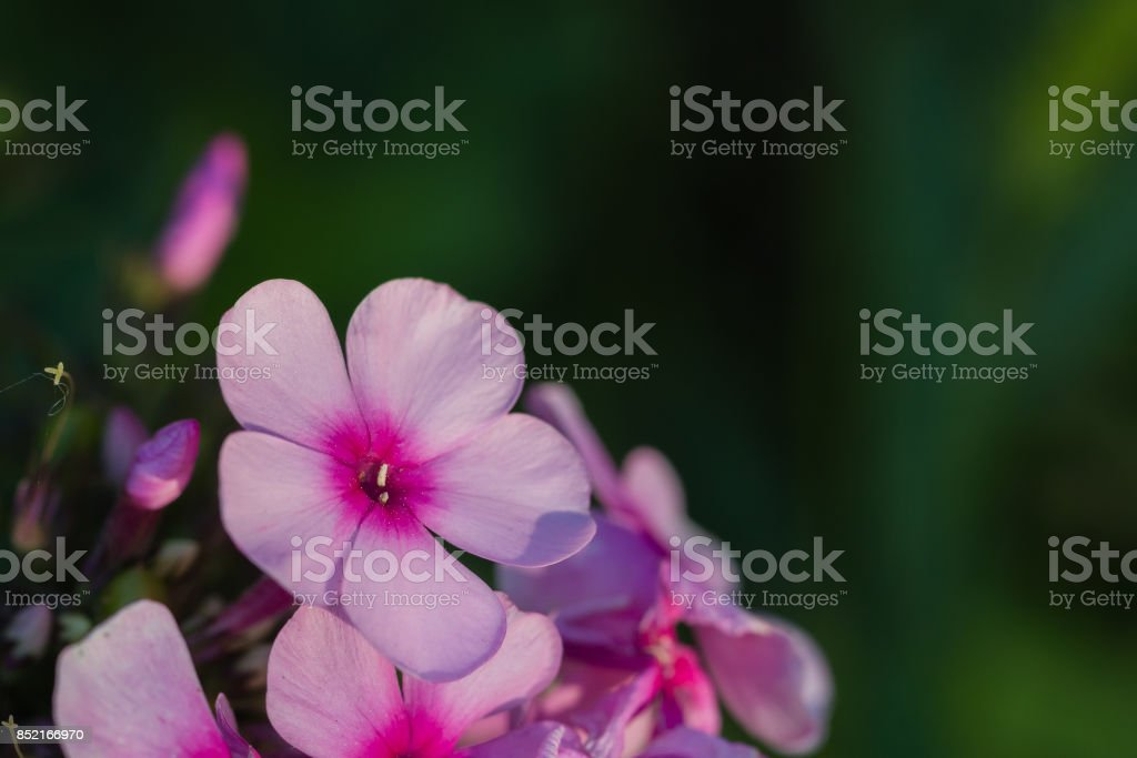 phlox stock photo