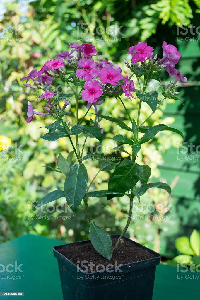 Phlox purple flower in a pot photo libre de droits