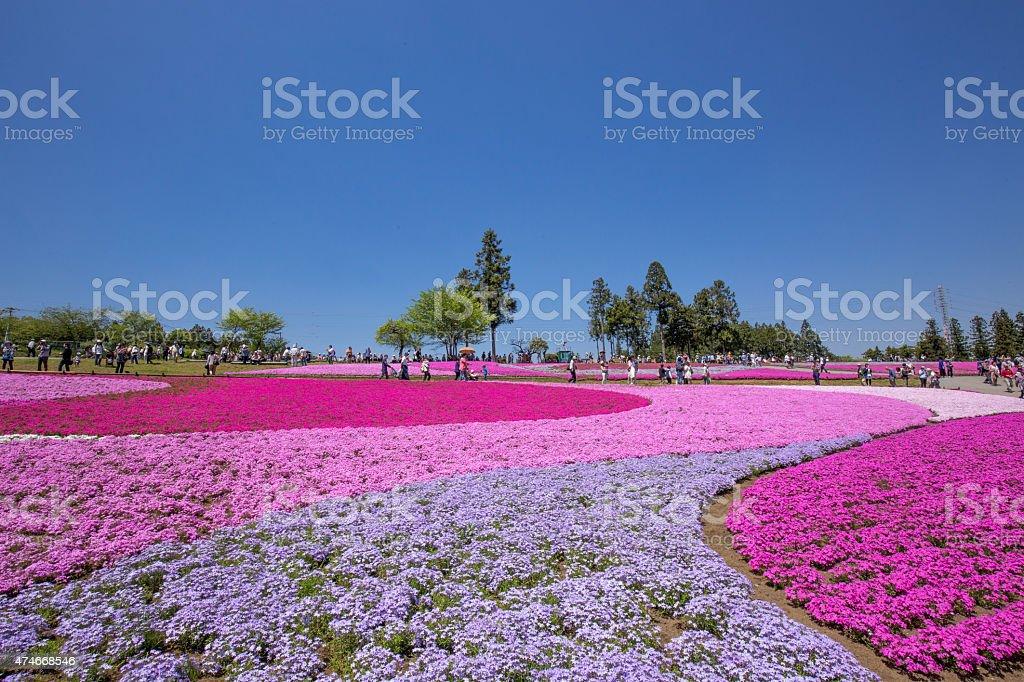 Phlox that bloom on one side (Saitama Hitsujiyama park) stock photo