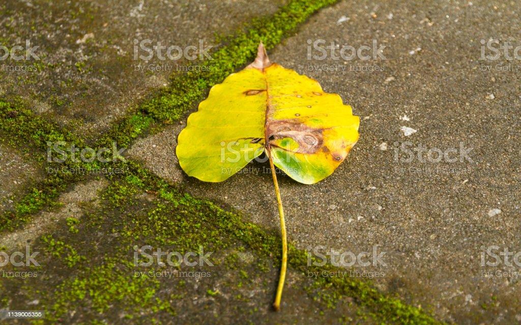 Pho leaves. stock photo