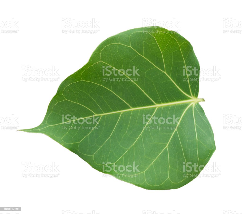 Pho tree leaves  On a white background stock photo