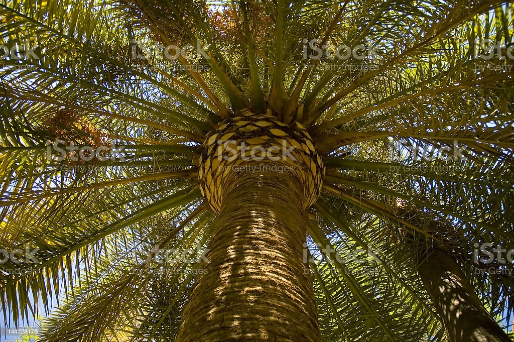 Phoenix dactylifera royalty-free stock photo