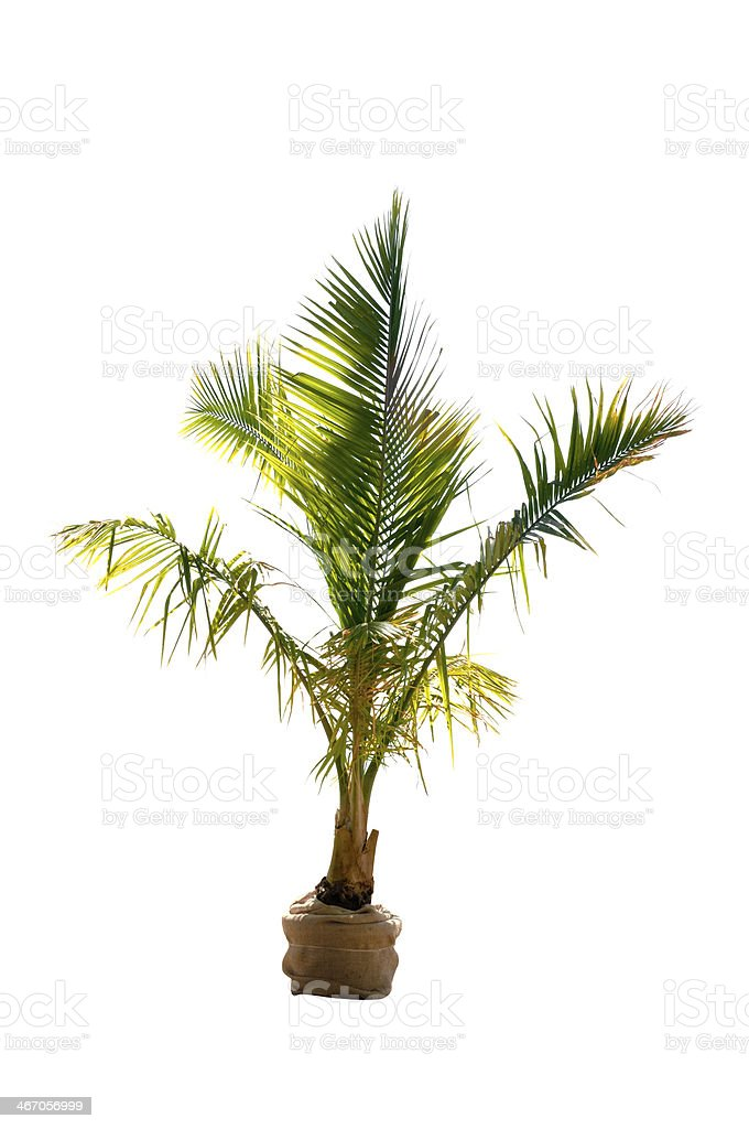 phoenix palm tree royalty-free stock photo