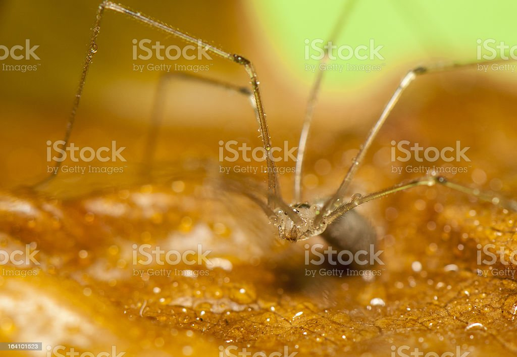 Pholcus royalty-free stock photo