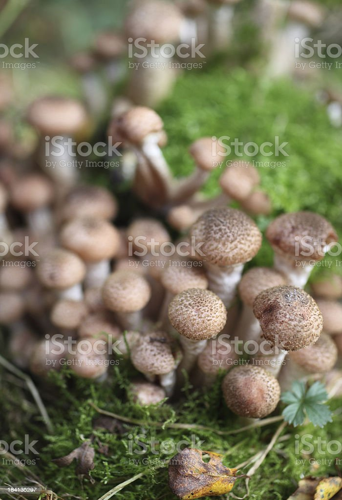 Pholiota squarossa mushroom cluster stock photo