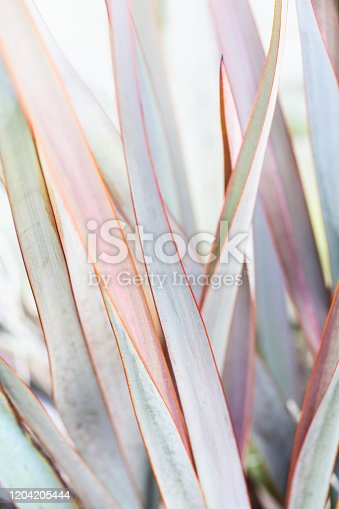 istock Phorium Ornamental Grass 1204205444