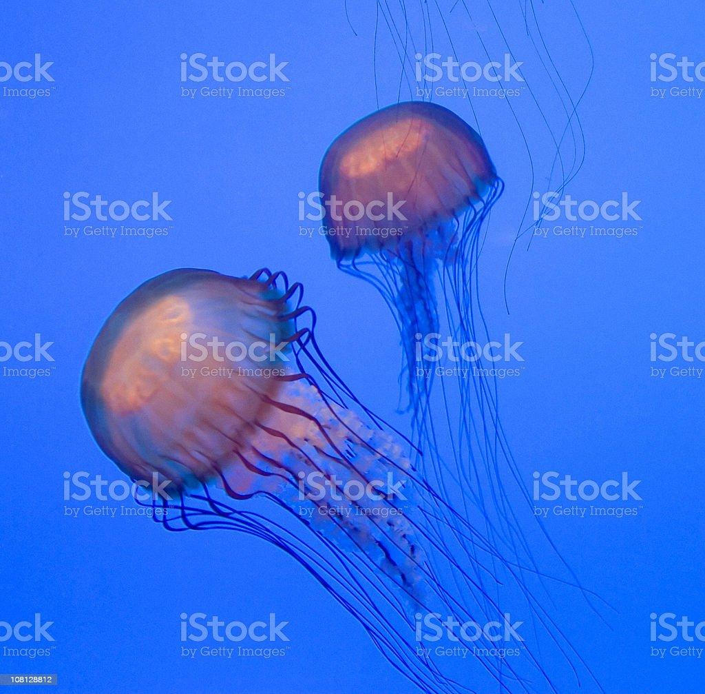Phosphorescent Jellyfish stock photo