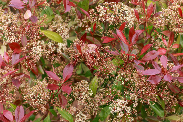 Photinia Red Robin hedge met witte bloemen in de lentetuin.​​​ foto