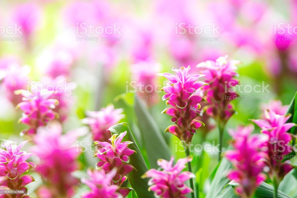 Photo Close Up Krachai Flower In Park Natural Flower Fieldpink