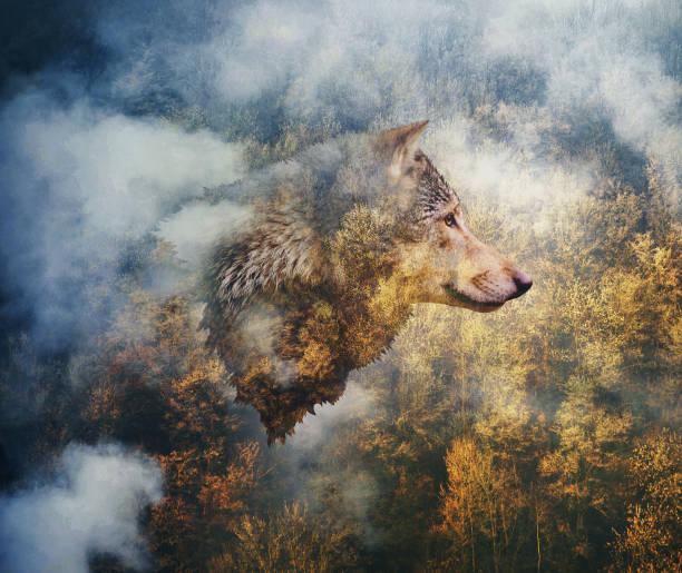 fotocollage: chef för vargen på bakgrunden av hösten skogen - wolf bildbanksfoton och bilder