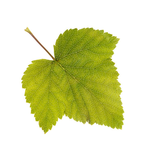 Photo leaf of blackcurrant ablaze with light Photo leaf of blackcurrant ablaze with light isolated on a white background ablaze stock pictures, royalty-free photos & images