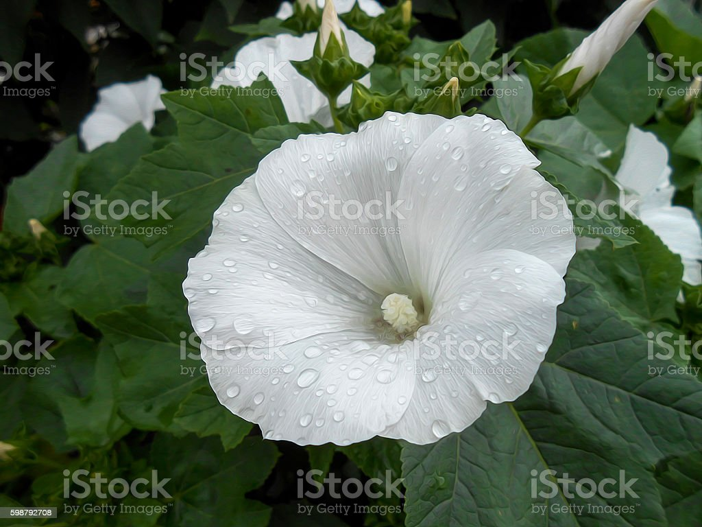 Photo Manipulation White Petunia Flowers Stock Photo More Pictures