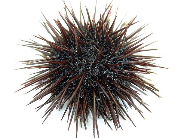 A photo of a black, spikey sea urchin on a white background stock photo