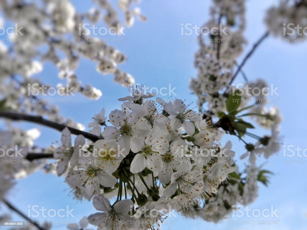 Photo of a blooming cherry tree royalty-free stock photo
