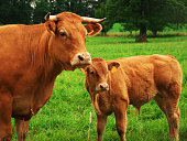 Cattle from French agriculture in the south of France