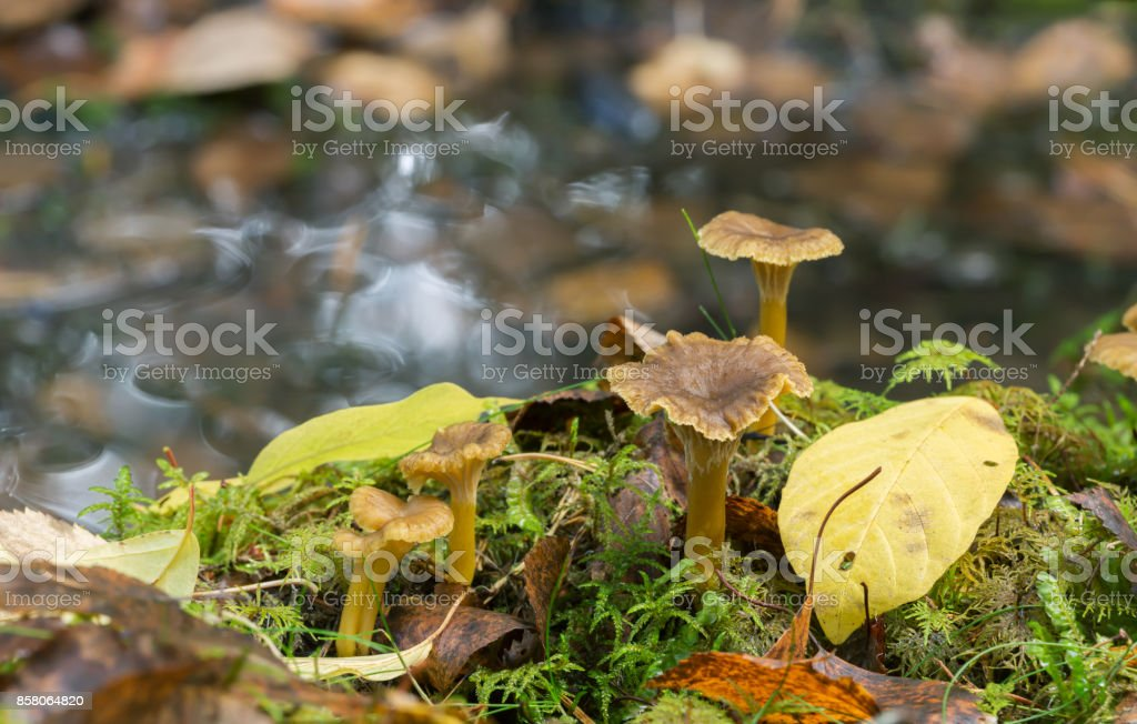 Photo of a few funnel chanterelles, Craterellus tubaeformis growing among moss in wet environment. stock photo