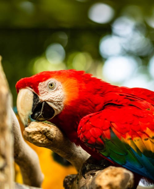 foto von einem hellroten aras in einem naturpark in cartagena, kolumbien. - urbanara stock-fotos und bilder