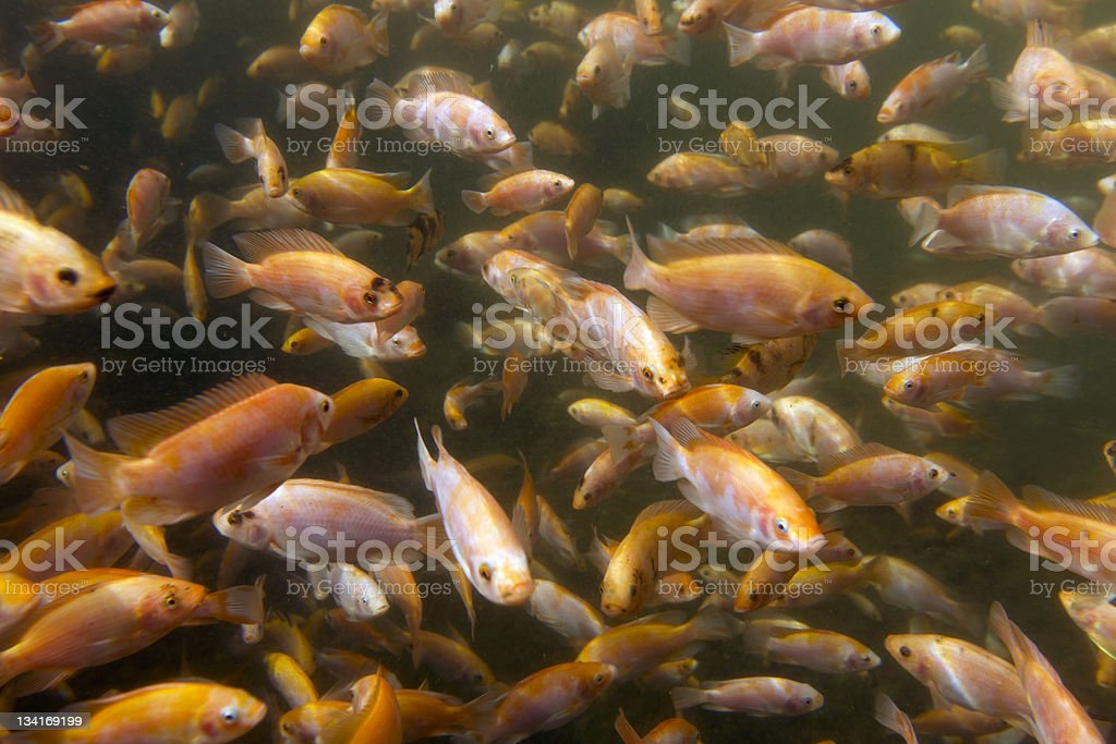 Photo of a school of Tilapia at a fish farm stock photo