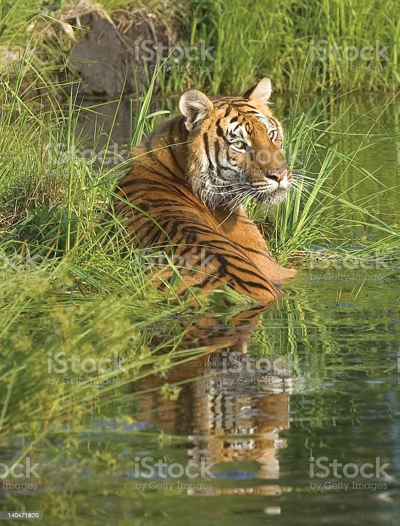 Photo of a tiger wadding in a marsh royalty-free stock photo