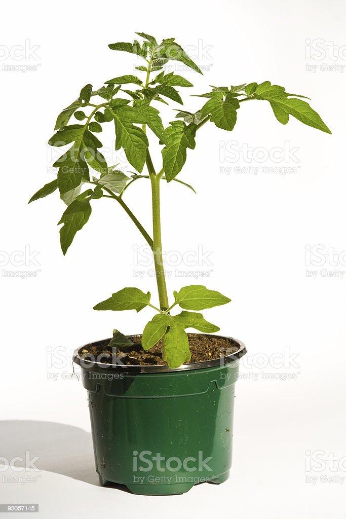 A photo of a tomato plant on a white background stock photo