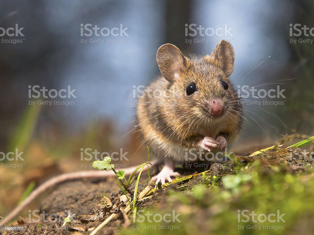 A photo of a wild wood mouse in nature stock photo