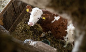 Photo of a young cow