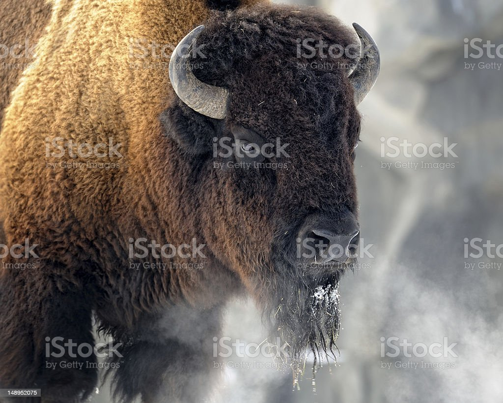 Photo of an American Bison in the snow stock photo