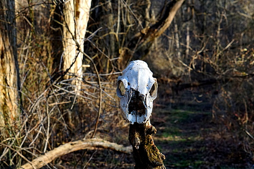 Photo of an animal's skull on a stick in the woods in Delaware.