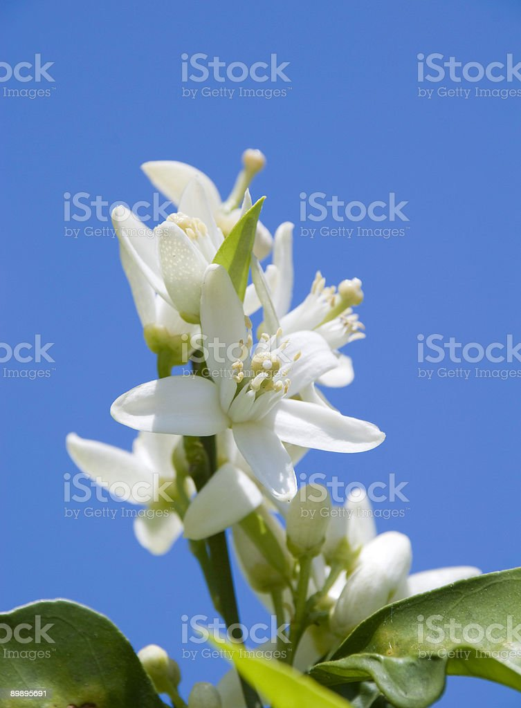 A photo of an orange blossom with a blue sky background stock photo