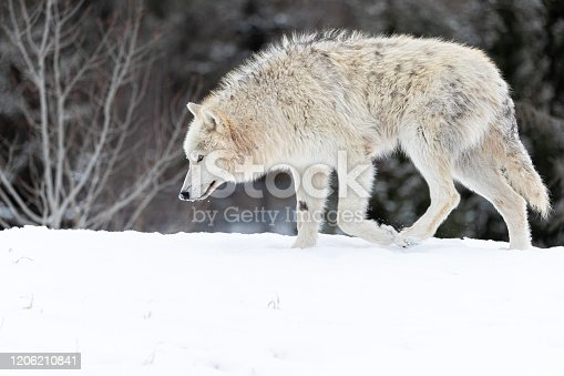 This up-close photo of arctic wolf is one of my favorite animal pictures that I have photographed. I have always challenged myself to do things in order to get out of my comfort zone. This collection of wolf images proves it. Traveling to isolated places where wildlife has never interacted by humans. Being miles and miles away from human contact to create art is my passion. Each new destination I visit becomes bigger and more exciting from the last. I have been to countries and also regions in this world with the hottest temperatures. But being in frigid areas like Norway, Alaska, and also Canada is my dreamland. I love being in extreme weather conditions just like the snow wolves. Feeling the cold throughout my skin is such a thrill and also motivation to always keep moving.