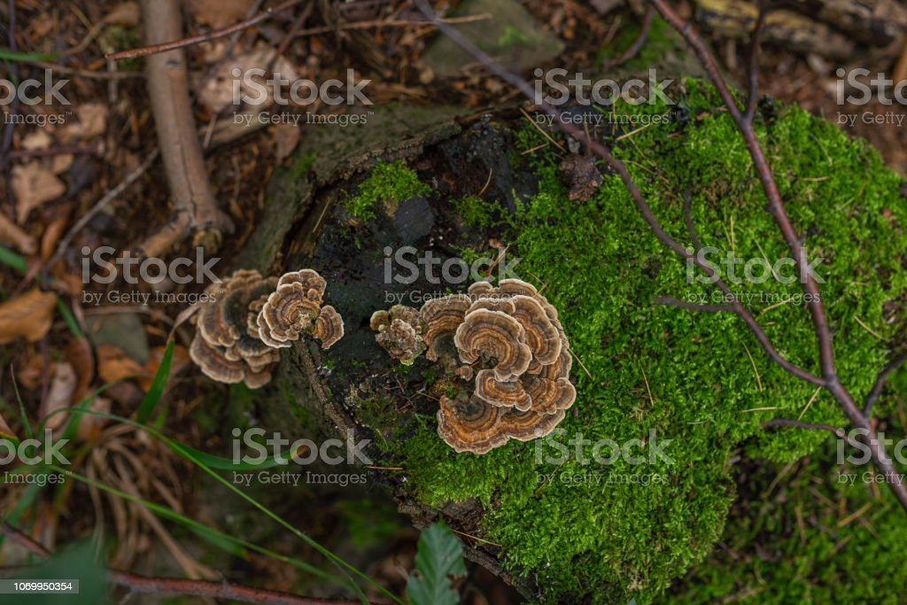 Photo of Autumn forest. Group of brown mushrooms on the old log with moss stock photo