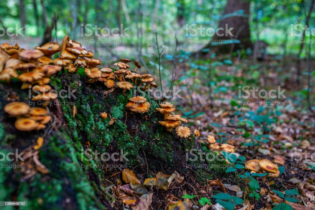 Photo of Autumn forest. Group of orange and yellow mushrooms on the old log stock photo