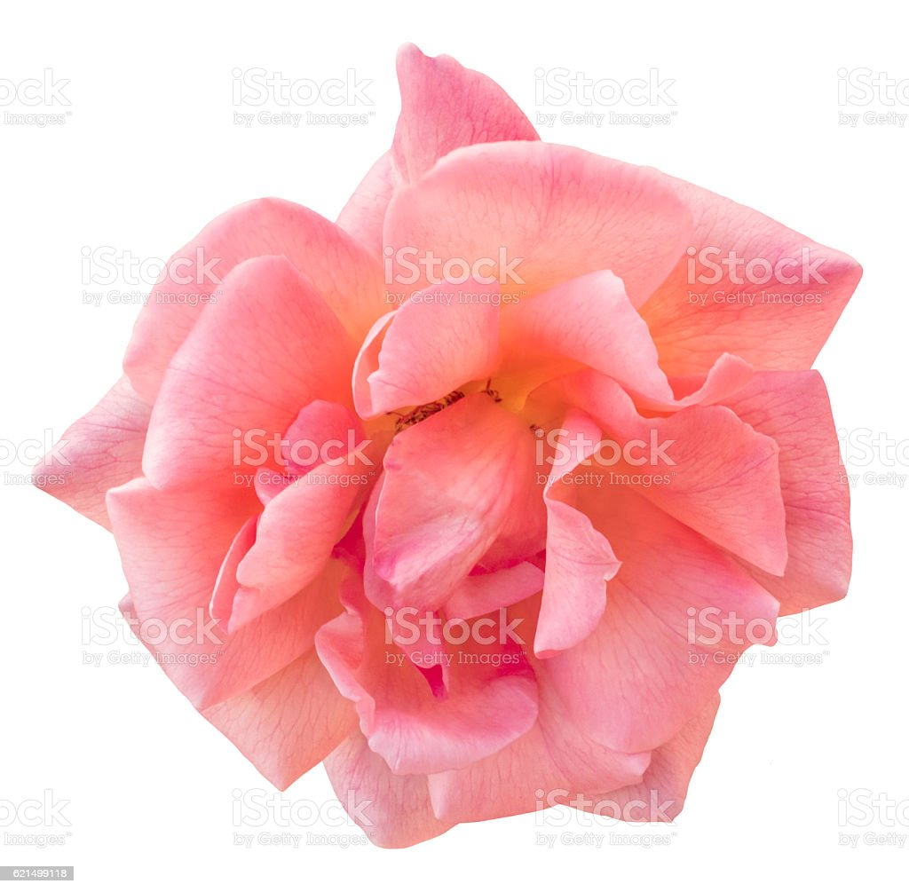 Photo of beautiful pink rose, isolated on white background Lizenzfreies stock-foto