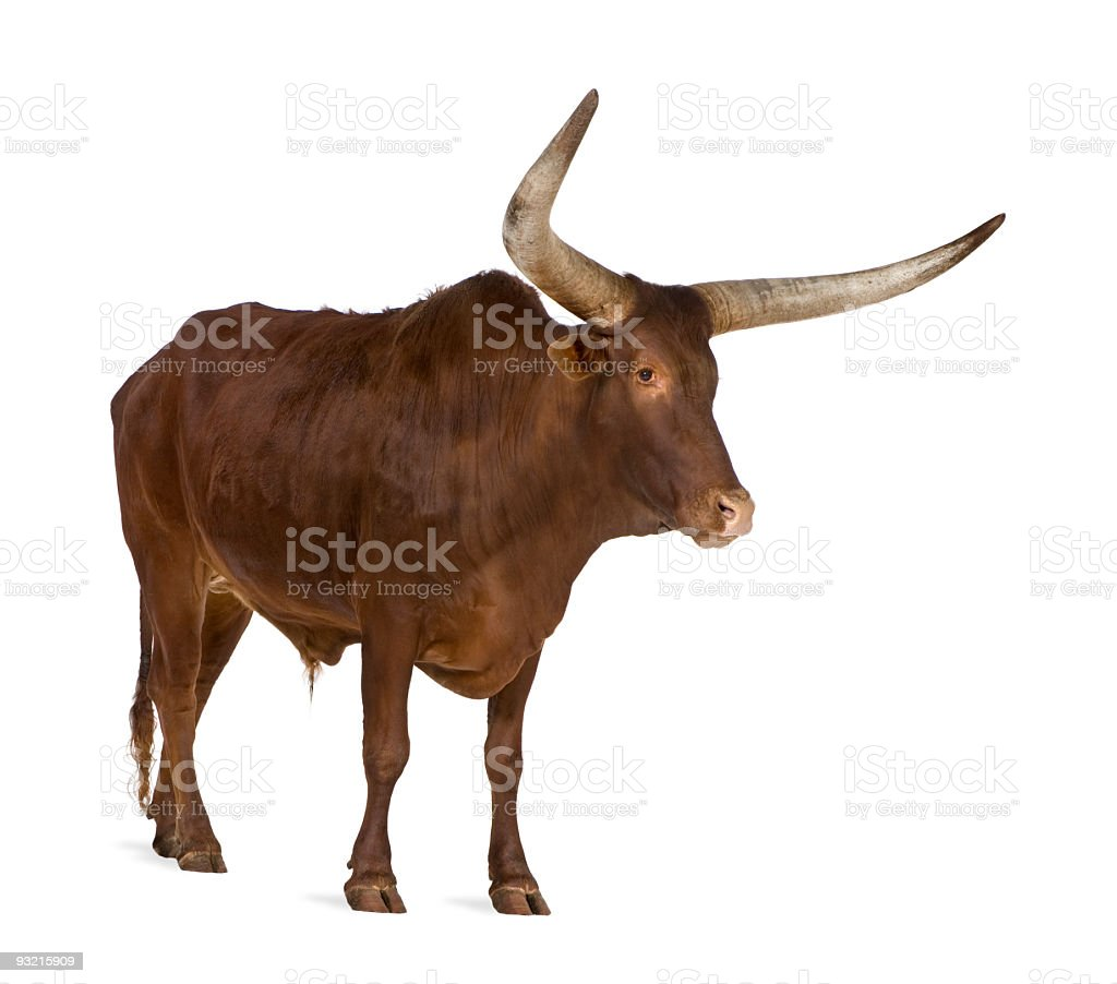 Photo of brown bull with long horns and white background stock photo