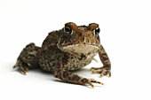Photo of brown toad looking directly into the camera