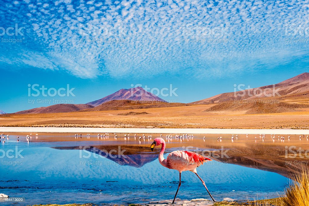 Photo of colorful flamingo in a lagoon in Bolivia stock photo