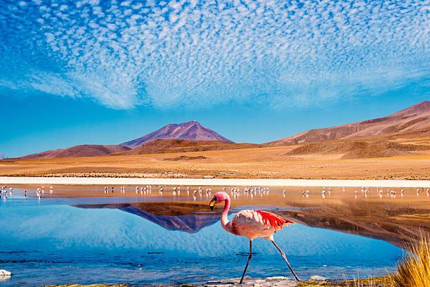 photo of colorful flamingo in a lagoon in bolivia - 玻利維亞 個照片及圖片檔