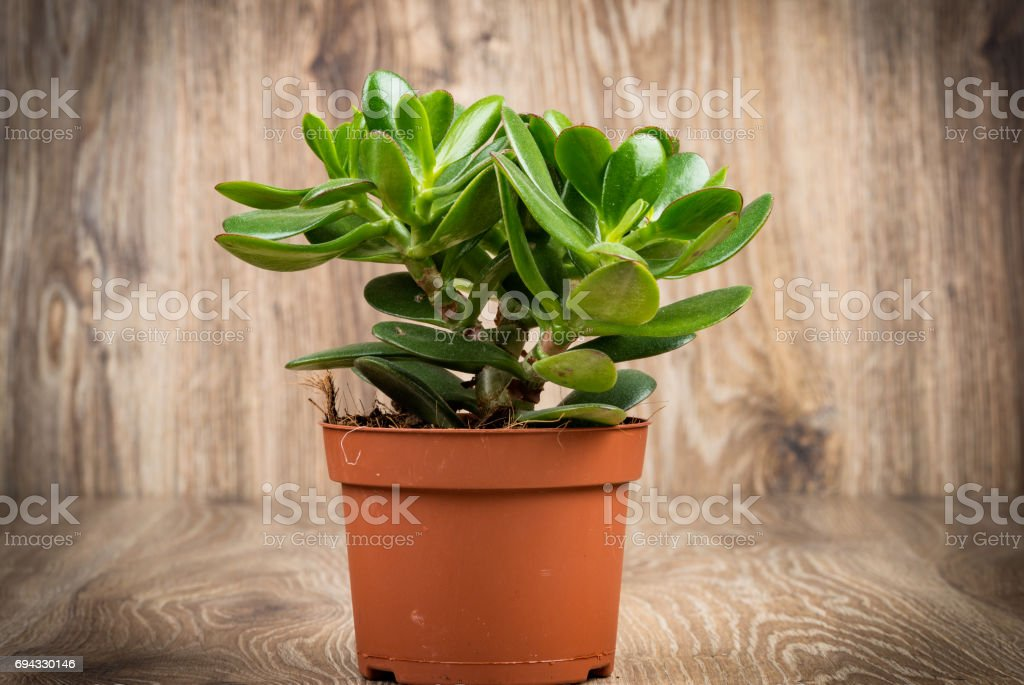 Photo of Crassula plant in the pot stock photo